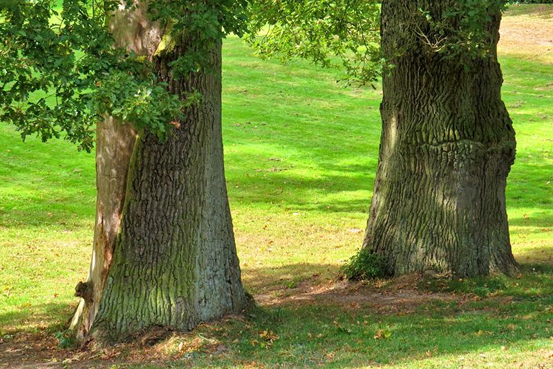 Zwei massive Eichen auf einer grünen Wiese